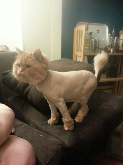 My sister's cat Cass --> from cat to Dr. Seuss character in one hair cut