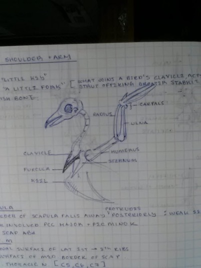 furcula