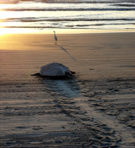 turtle patrol
