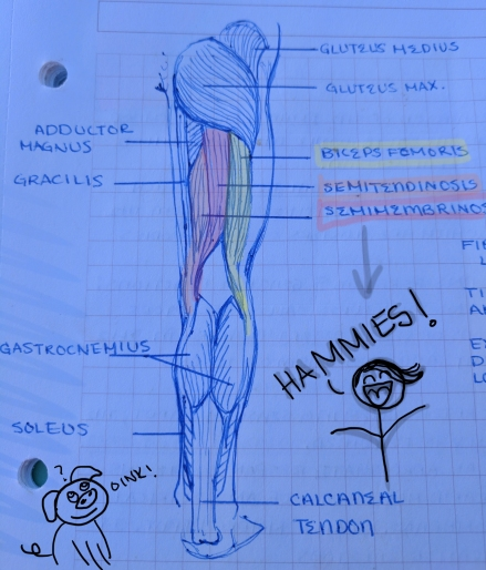 hamstrings-drawing